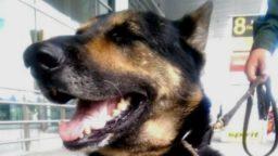 Pies policyjny narkotyki